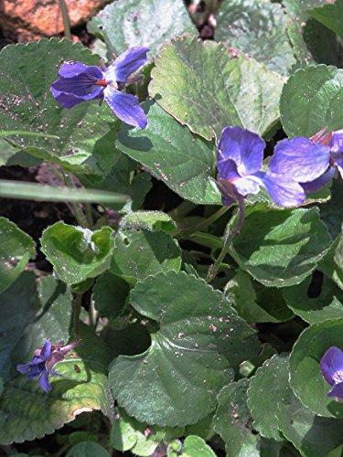 Duftveilchen (Viola odorata) 50 Samen Märzveilchen Wohlriechendes Veilchen