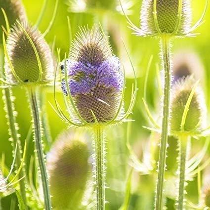 Derlam Samenhaus-10 Pcs Kardendistel Kardensamen Rarität Blumensamen mehrjährig winterhart exotische samen Saatgut für Garten