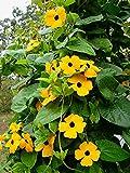 Black Eyed Susan 'Vine' Flower Seeds (Thunbergia alata), 25 Heirloom Seeds Per Packet, Non GMO Seeds, Botanical Name: Thunbergia alata, Isla's Garden Seeds