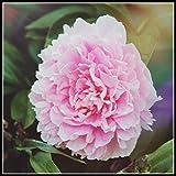 Los Bulbos De Peonía Son De Color Brillante Y Tienen Una Fragancia Fuerte. Son Adecuados Para Jardinería Y Plantación En Macetas. Vale La Pena Plantarlos En El Jardín-3 Bulbos,2