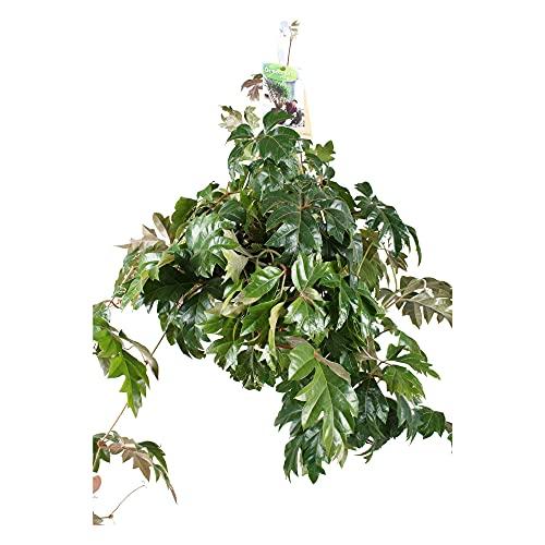 "Cissus rhombifolia \""Ellen Danica\"" | Königswein | Hängepflanze echt | Höhe 40-50 cm | Topf-Ø 17 cm"