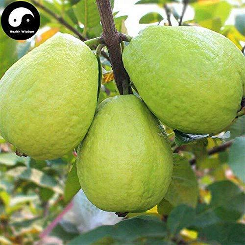 60pcs: Buy Real Guava Fruit Tree Seeds Plant Fruit psidium guajava Grow Fan shi liu