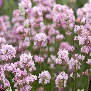 Souked 8PCS Lavandula angustifolia 'Rosea' Lavendel Samen