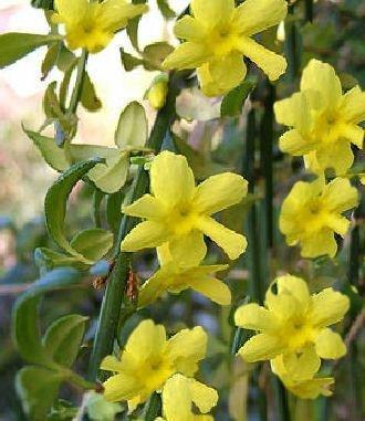 Echter Winterjasmin - Jasminum nudiflorum 60-100 cm,