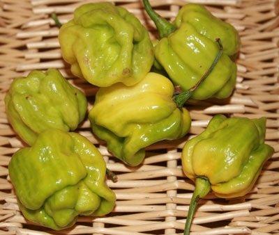 30 Samen von Habanero Mustard - Hot Peppers