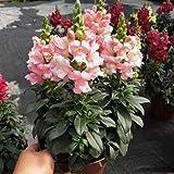 Fuduoduo Semillas De Hortalizas para Interiores,Valentine Plant Semillas de Flores de Peces de colores-K800 pcs,Flores Paisaje para Cercas