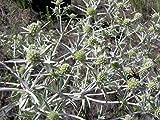 Semillas de Panical Eryngium Campestre 80 Semillas de Cardo Corredor, Cardo Setero o Cardo Yesquero
