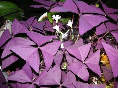 Lot de 10 ampoules Oxalis Triangularis Purpurea.