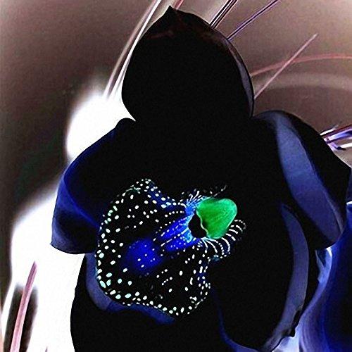 TENGGO Egrow 100 STÜCKE Seltene Schwarze Orchidee Blumensamen Exotische Orchidee Hausgarten Bonsai Pflanzen Samen