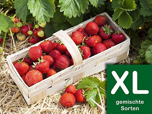 Erdbeerprofi - Erdbeer Anbau-Set XL: 80 Erdbeerpflanzen inkl. Dünger - 4 Erdbeersorten: Daroyal, Korona, Malwina & Ostara - Langzeitdünger für Erdbeerpflanzen - Anbau-Set mit 80 Erdbeergrünpflanzen