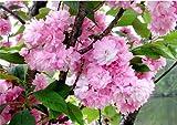 KWANZAN Cherry Tree - Double Flowers 2 - Year Live Tree