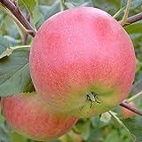 Apfelbaum Rubinola robuster Herbstapfel Halbstamm mit ca. 170-200 cm im