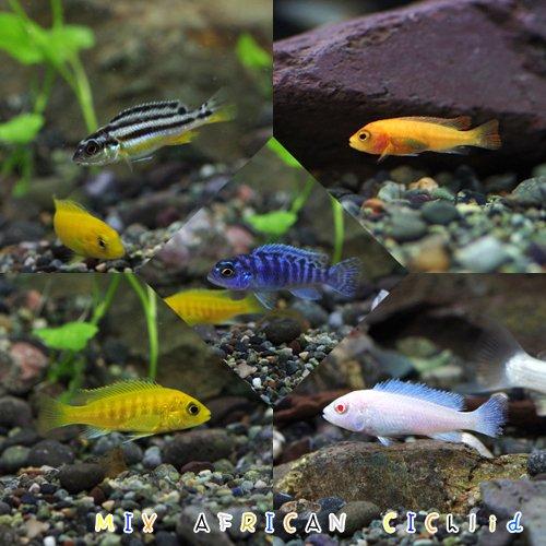 (熱帯魚)ミックス・アフリカンシクリッド(約3-4cm)(3種以上MIX)<5匹>