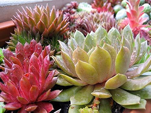 Immerlebender Hauswurz Set aus 5 verschiedenen Sempervivum Pflanzen