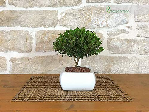 Bonsai di Mirto in vaso quadro bianco