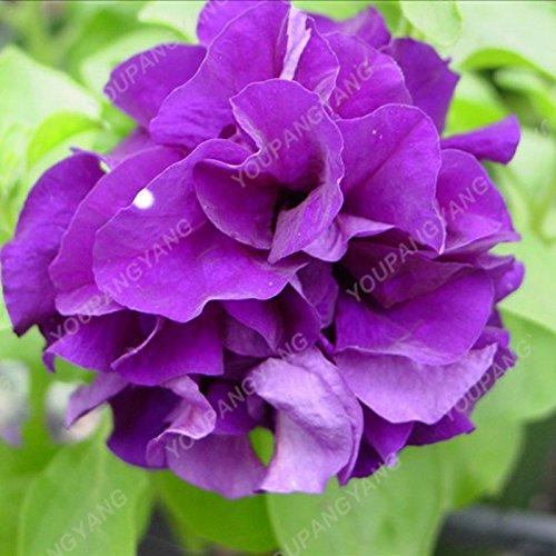 100pcs Petunia Seeds Four Seasons peut être planté 25 sortes de couleurs Pétunia Graines de fleurs Bonsai pour le bricolage jardin Plantation vert
