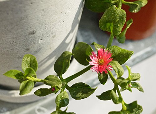 Bio-Gärtnern am Fensterbrett - 5
