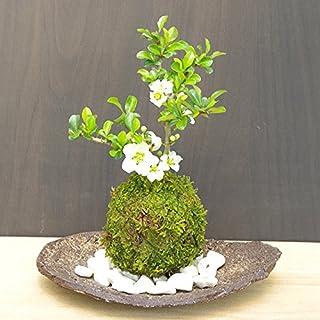 年に数回可憐な花が楽しめます【白長寿梅(しろちょうじゅばい)の苔玉・くらま岩器・敷石セット】 (白石)