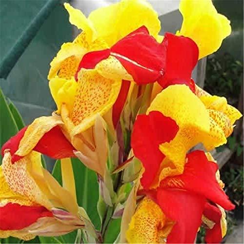 Canna Zwiebeln,Beetpflanzen Spezielle Pflanzen Zwiebeln MehrjäHrige Blumen Magische Pflanzen Garten-3 Zwiebeln