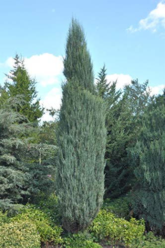 Raketen Wacholder Juniperus virginiana 'Blue Arrow' im Topf gewachsen ca. 40-60cm