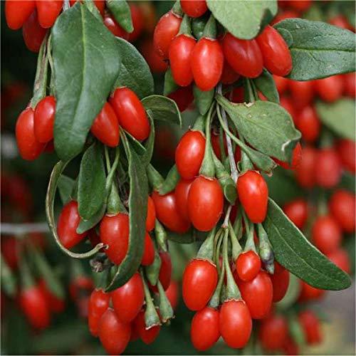Pianta Goji 10 piante vaso 7cm