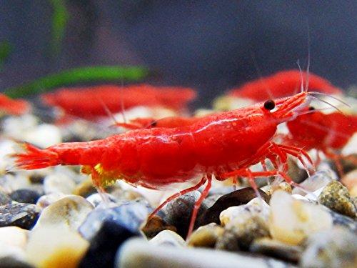 【NOKO-T】 レッドファイアーシュリンプ(極火蝦) 20匹+死着補償2匹 合計22匹 〔生体〕