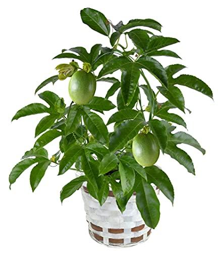 花のギフト社 パッションフルーツ 鉢植え 鉢花 花鉢 フラワーギフト 父の日 ギフト 4号鉢
