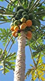 Papaya 10 Seeds/Seed - Carica papaya - Fruit