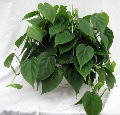 """Heart Leaf Philodendron - Easiest House Plant to Grow - 4"""" Pot - Live Plant"""
