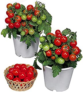 Best cluster tomato seeds Reviews