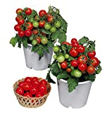 Harley Seeds 30+ Dwarf Red Robin Tomato Seeds, ORGANICALLY Grown Heirloom Non-GMO, Sweet, Low Acid,...