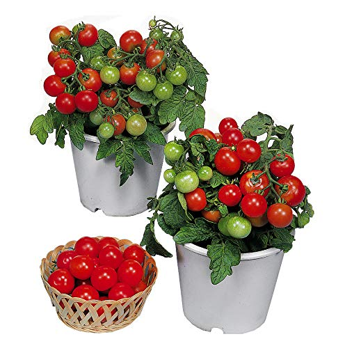 Harley Seeds 30+ Dwarf Red Robin Tomato Seeds Heirloom Non-GMO, Sweet,...