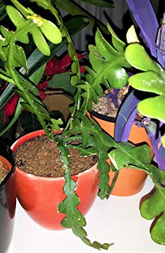 Fischgräten-Kaktus, Epiphyllum, anguliger Orchideenkaktus, Zickzack-Kaktus, ungewöhnliche Sukkulente, in 9 cm Topf