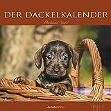 Der Dackelkalender 2020 - Bildkalender (33 x 33) - Tierkalender - Hunde - Dogs - Wandkalender - ALPHA EDITION