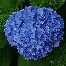 Flower Seeds Hydrangea Blue Hydrangea Plant Hot Sale Rare Blue Hydrangea Balcony Fort Viburnum Hydrangea Macrophylla Plant 120PCS