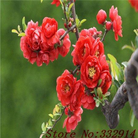 Hot Sale Sale! 100pcs / sac rares chinois Malus spectabilis Graines 20 variétés Bonsai lanternes fleurs graines jardin nouvelles plantes Anti