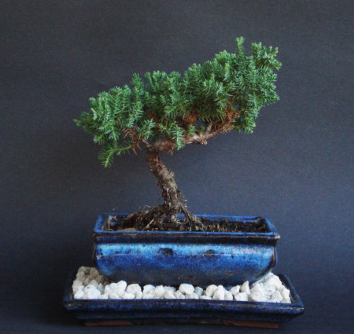 Over 5 Years Old Juniper Indoor Bonsai Tree with Natural Rock and Tray