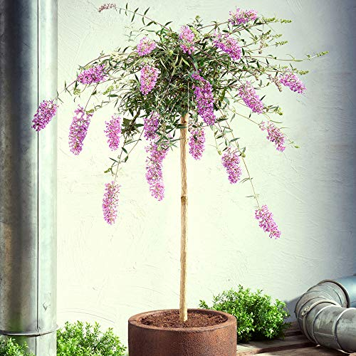 "Buddleja davidii\""Lavender Flow\"" | Lila Schmetterlingsflieder Winterhart | Blühender Zierstrauch | Höhe 50 cm | Topf-Ø 19 cm"