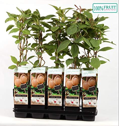 Klimplant Kiwi - Actinidia Chinensis Hayward - groene vruchten - 60-80 pot 2ltr.