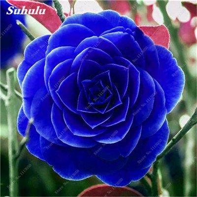 Grosses soldes! 10 Pcs Camellia Graines, Graines Bonsai Fleur, couleur rare, bonsaïs d'intérieur / extérieur Plante en pot pour jardin Facile à cultiver 14