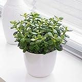 Crassula ovata'Albero dei Soldi''Albero di Giada' pianta in vaso