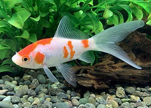 国産金魚 コメット 3匹 個体サイズ約:8~10cm [生体]