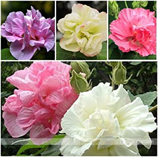 Hot Sale!!! 50 Hibiscus Flower Seeds, DIY Home Garden potted or yard flower plant easy-growing