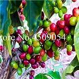 AGROBITS des graines: 20 Pcs B Bonsai Maison- Adultes Cacao B Bonsai Balcon Arbre bonsaï Cerise Bonsai Accueil Graden Plantes: 2