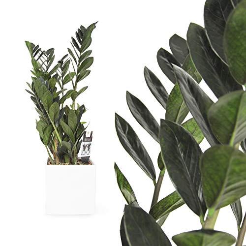 1x Zamioculcas Glücksfeder in verschiedneen Groessen - RAVEN DUNKEL 70 bis 80cm - Zamiifolia Zanzibar Zimmerpflanze Raven Palme - pflegeleichte Zimmerpalme, tropisch, immergrün