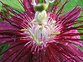 9GreenBox - Lady Margaret Passion Flower - 4