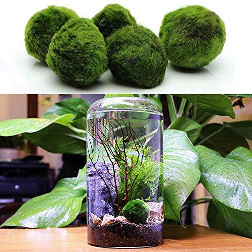 Womdee Marimo Moss-Brillante, Verde, Todas Las Plantas acuáticas Naturales-Ronda 1,6