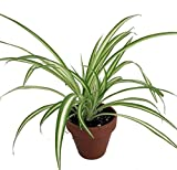 Ocean Spider Plant - 4' Clay Pot for Better Growth - Cleans The Air/Easy to Grow