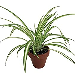 Best Air Cleaning Houseplants That Are Impossible To Kill | Spider Plant