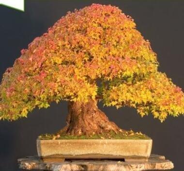 bonsaï graines d'arbres d'érable graines de bonsaï. rares graines d'érable japonais plantes de balcon pour le jardin à la maison 25 pcs F52 jaune